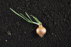 Onion sprouting Royalty Free Stock Photos