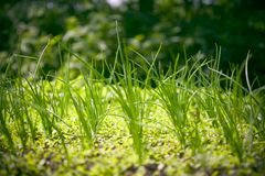 Onion sprouts. Sprouts of spring onion growing in a little country garden royalty free stock photography