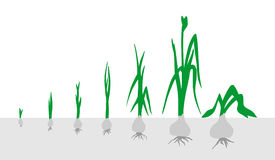 Onion. Stages of growth. Vector Image. It can be used in any design. All elements on layers Stock Images