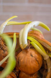 Onion stem growth. The grown of some onions Royalty Free Stock Photo