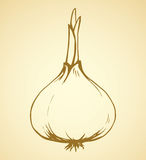 Onion. Vector drawing Royalty Free Stock Photos