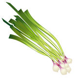 Onion. Stock Photography