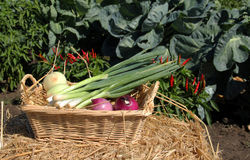 Onion vegetable basket Royalty Free Stock Images