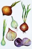 Onion watercolor Royalty Free Stock Photos
