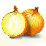 Onion. watercolor painting on white background. Yellow onion. watercolor painting on white background Royalty Free Stock Photography