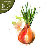Onion. Watercolor. Royalty Free Stock Images
