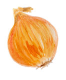 Onion watercolor Royalty Free Stock Photo