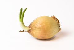 Onion with young plant growing. Young onion with growing plant stock photos