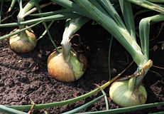 Onions. Growing in the garden Royalty Free Stock Photos