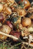 Onions. Pile of white onions growing in field Royalty Free Stock Photography