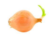Onions. Royalty Free Stock Image