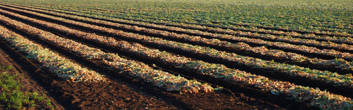 Onions. Panoramic view of rows of onion plants Stock Photography