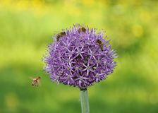 Onions and bees. Bees sit on an onions Royalty Free Stock Photos