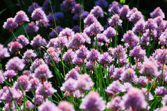Onions blooming Royalty Free Stock Photos