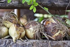 Onions. Close up view of some onions on a wood log Stock Photo