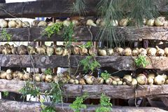 Onions. Close up view of some onions in a wood log wall Royalty Free Stock Images