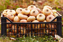 Onions in a crate on the grass Royalty Free Stock Image