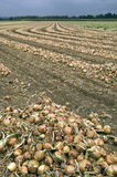 Onions are drying after harvest on a farm field Stock Photography