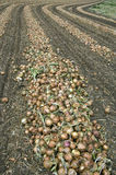Onions are drying after harvest on a farm field Stock Images