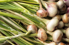 Onions are drying in the organic vegetable garden. Royalty Free Stock Images