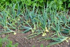 Onions - ecological vegetable garden Stock Photos