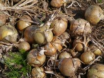 Onions on a farmyard Stock Photography