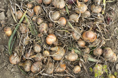 Onions in a field Stock Photography