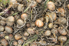 Onions in a field Stock Images