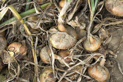 Onions in a field Royalty Free Stock Image