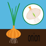 Onions in the garden Royalty Free Stock Photography