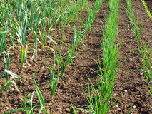 Onions and garlic growing. Rows of onions and garlic growing in a field during the summer time royalty free stock image