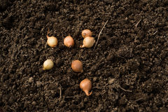 Onions on ground Royalty Free Stock Photo