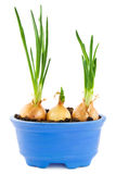 Onions growing Stock Images