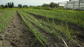 Onions Growing in Field. Dolly shot of green onions growing in the spring stock footage