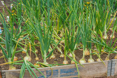 Onions growing on a garden allotment Stock Image