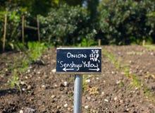 Onions Growing Senshyu Yellow Vegetable Garden stock photo
