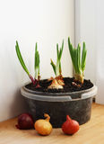 Onions grown on a windowsill in the house. Royalty Free Stock Photography