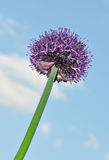 The onions grows. On a background of the sky Royalty Free Stock Photo