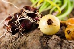 Onions on grunge wood Royalty Free Stock Image
