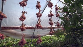 Onions Hanging to Dry. 4K. UHD stock footage
