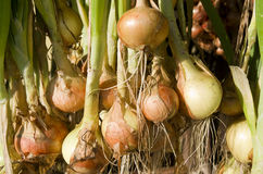 Onions hanging to dry. Stock Photo