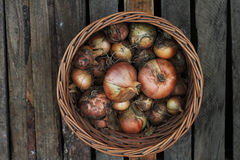 Onions from the harvest in a basket Royalty Free Stock Images