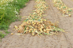 Onions are harvested during end of summer Royalty Free Stock Images
