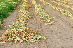 Onions are harvested during end of summer Stock Photo