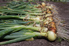 Onions harvesting. Onions harvest on a field Royalty Free Stock Photos