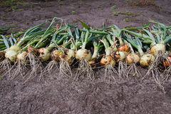 Onions harvesting. Onions harvest on a field stock images