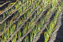 Onions in Lanzarote, growing on volcanic soil Royalty Free Stock Photos