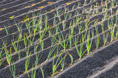Onions in Lanzarote island grow on volcanic soil Stock Photos