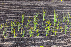 Onions in Lanzarote island, growing Royalty Free Stock Images