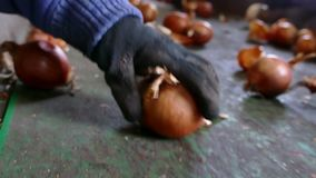 Onions on the Line for Selection. Workers on the conveyor belt select  of the domestic red onion stock footage